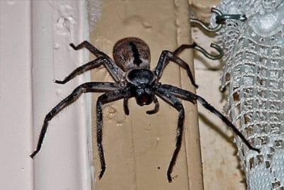 Pestaway Australia Spider Removal Melbourne
