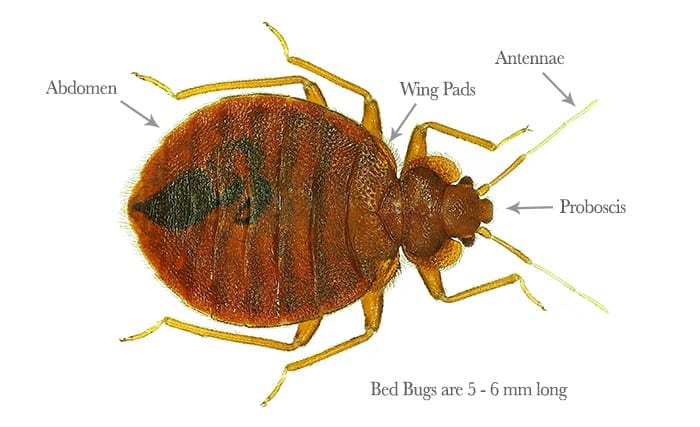 pestaway-bed-bugs1
