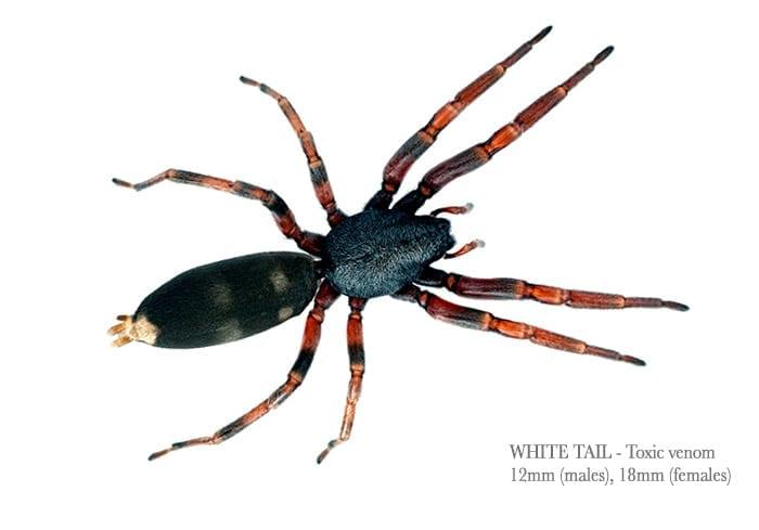 white-tail1