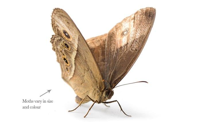 pestaway-moths